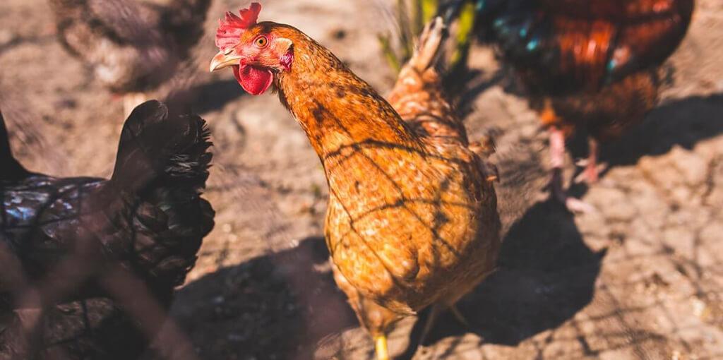 La alimentación y el sistema digestivo de la gallina