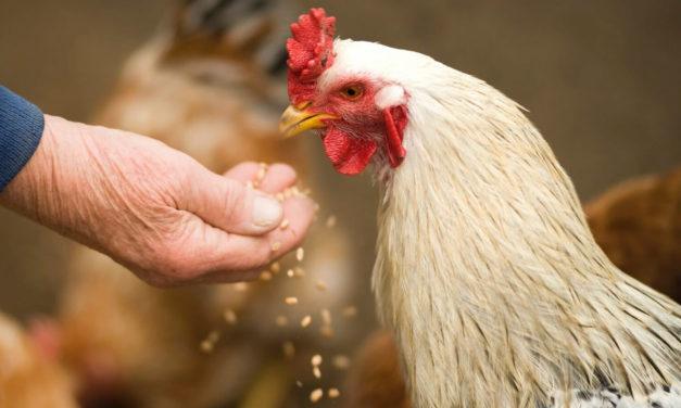 El sistema digestivo de las gallinas