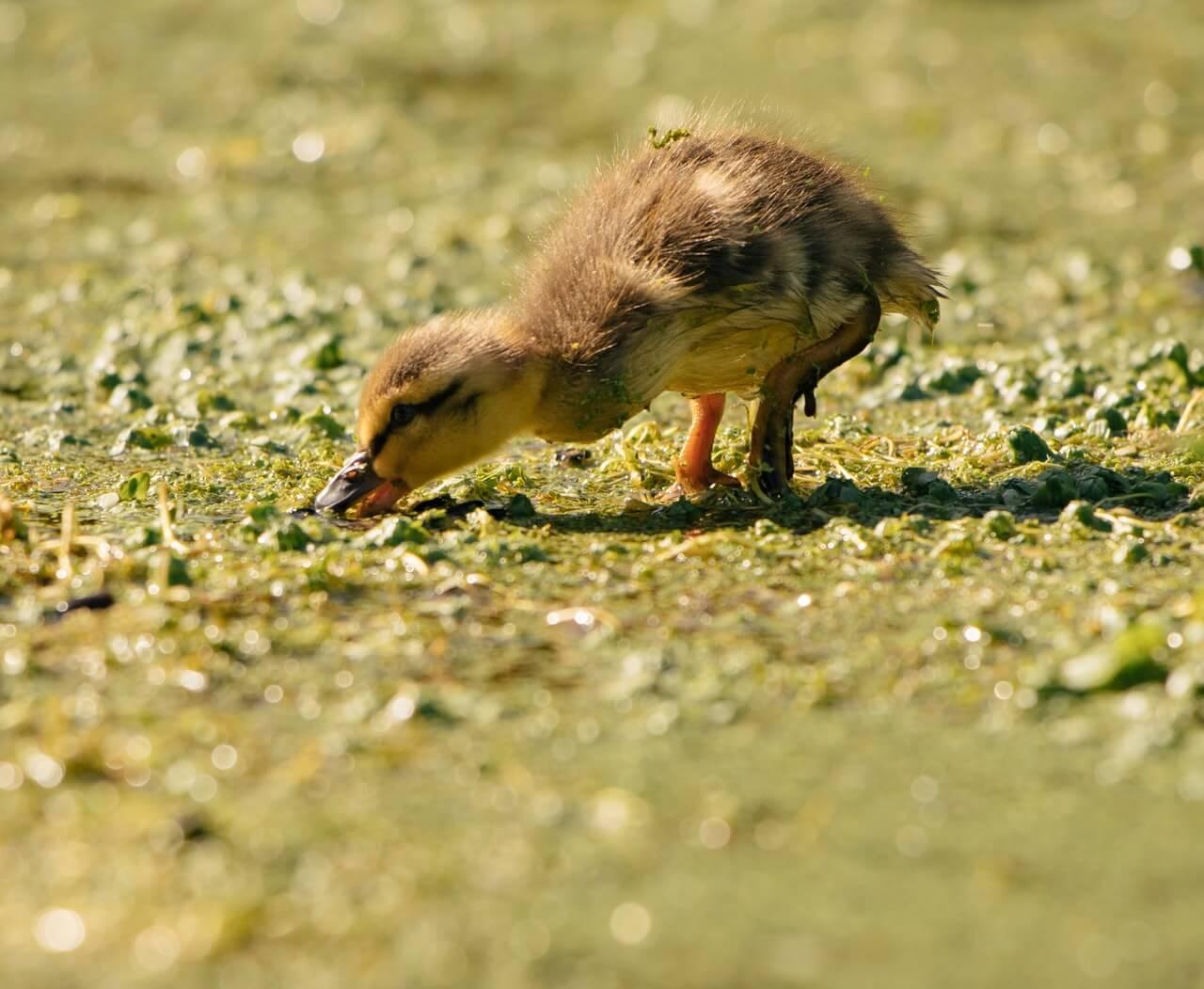 Alimentación como parte fundamental de los cuidados de un pato pequeño