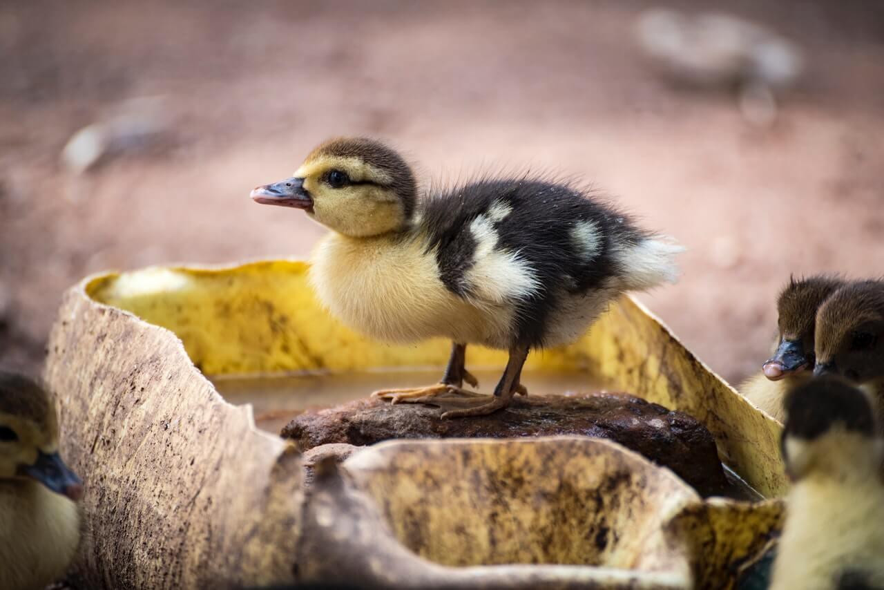 Desparasita tu pato para un buen cuidado.