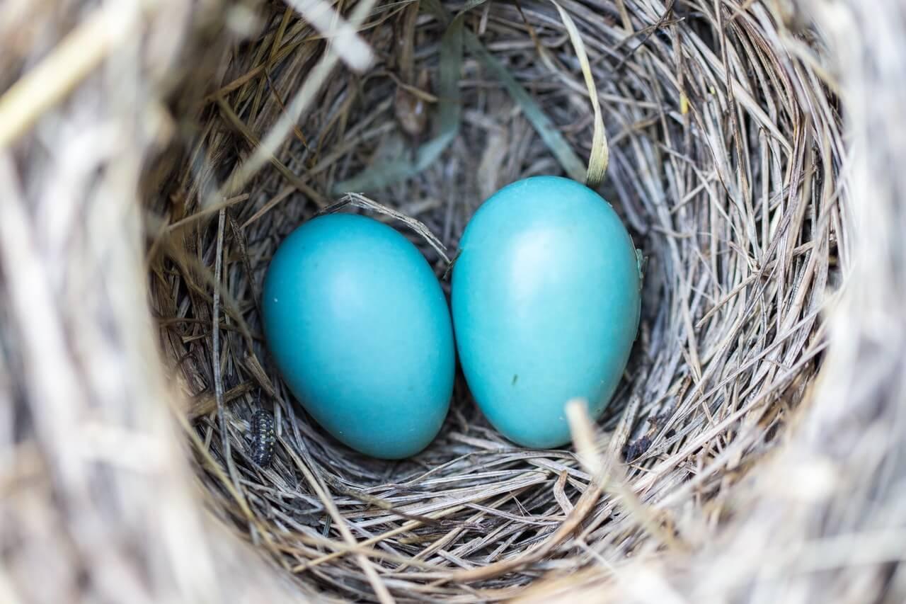 Huevos en el nido de incubación.