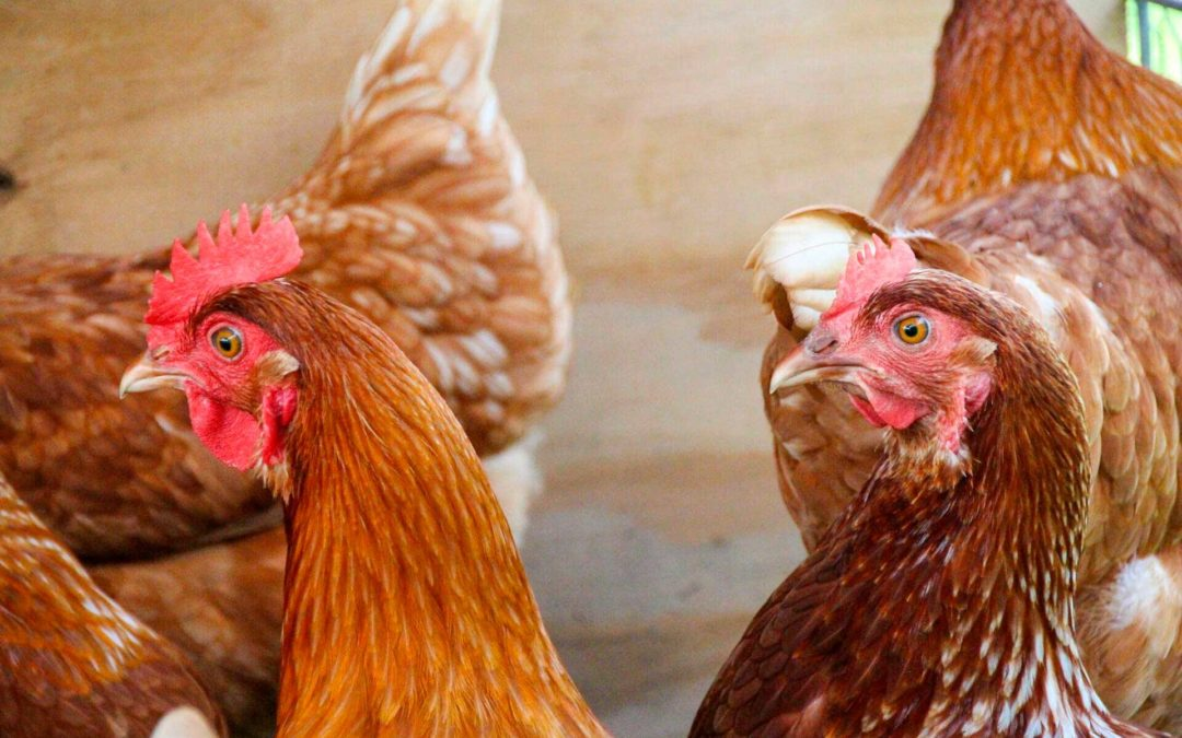 Cómo evitar el picaje en gallinas
