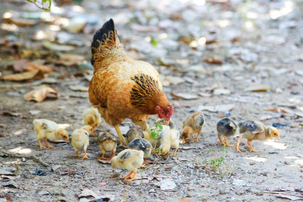 Cría de pollitos de manera natural.
