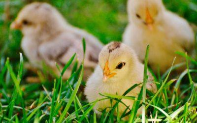 Cría natural de pollitos