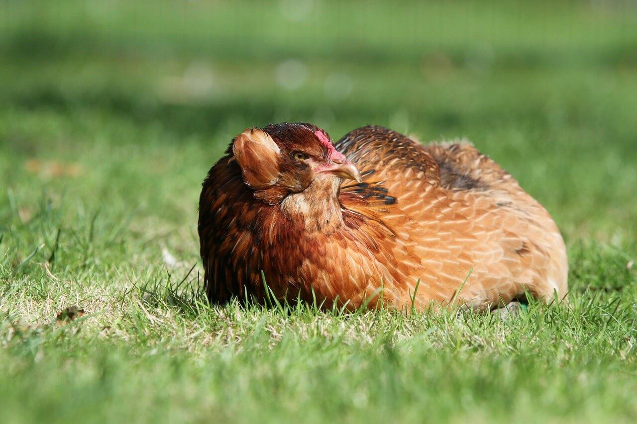 Conoce a la gallina de los huevos azules.