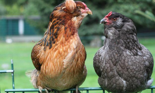 Conoce a la gallina de los huevos azules: Gallina Araucana