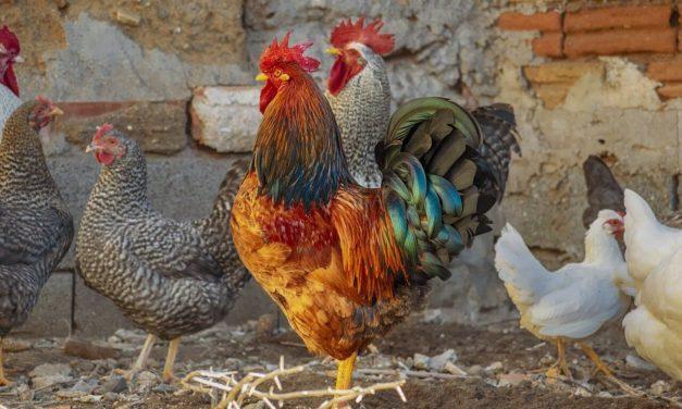 Qué alimentos NO debes darle a tus gallinas