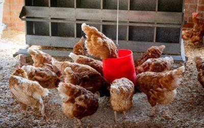 Rutinas en la alimentación de tus gallinas