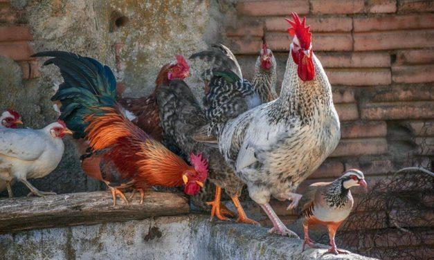 Aprende a reducir el estrés por calor de tus aves de corral