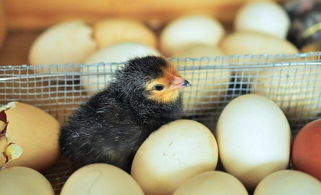 Conoce las causas de una mala incubación de huevos.