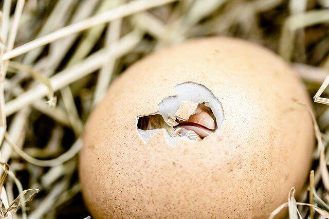 Mala incubación de huevos.
