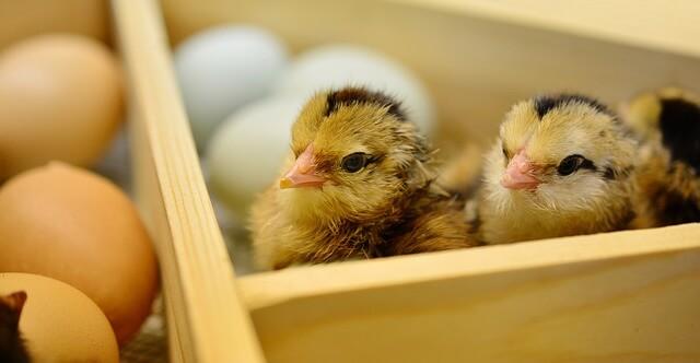 Problemas en la incubación de pollitos.