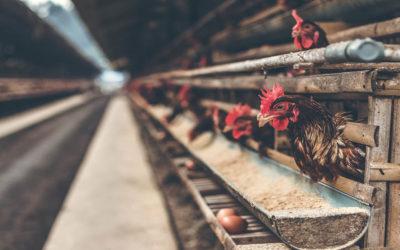 Cómo evitar que las gallinas pongan huevos en el suelo