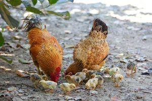 alimentacion de las gallinas