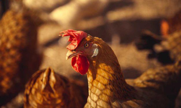 ¿Por qué la gallina no pone huevos? ¡te lo explicamos!