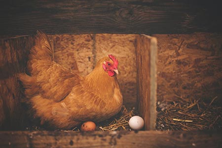 porque no ponen huevos las gallinas