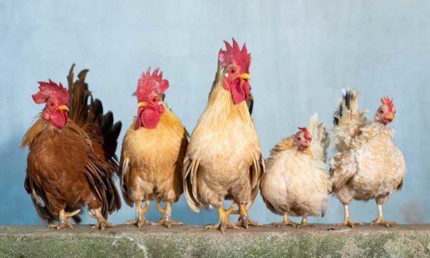 Te explicamos cómo diferenciar una gallina de un gallo