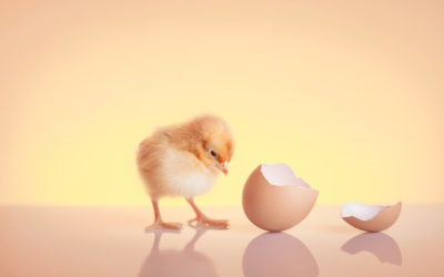 Cuidados y consejos sobre cómo criar pollitos