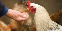 Sistema digestivo para gallinas