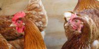 Cómo evitar el canibalismo y el picaje en gallinas.