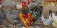 Alimentos que no debes darle a tus gallinas ni aves de corral.