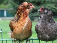 Gallina de los huevos azules o gallina araucana