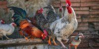 Aprende a reducir el estrés por calor de tus aves de corral.