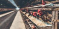 Cómo hacer que las gallinas pongan en el ponedero