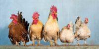 diferencia entre gallo y gallina