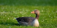 diferencias entre oca y ganso