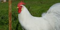 Gallo Leghorn