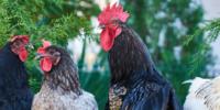 Vista una gallina de raza pura y una híbrida.
